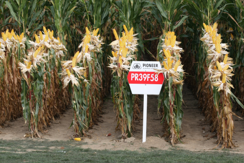 dupont maize