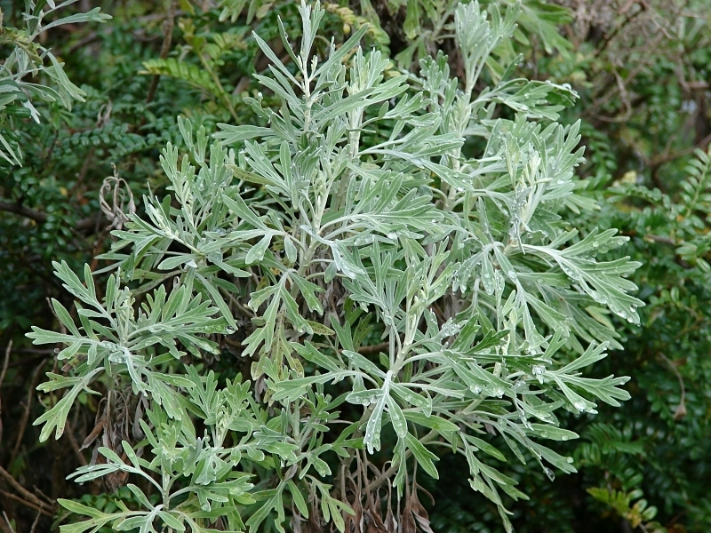 Wormwood Leaf