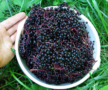 ELDERBERRY (black)